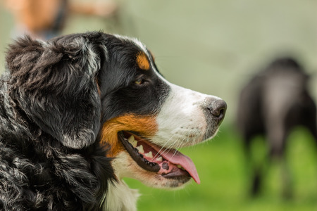 bernese mountain dog: Close-up of a dogs head Bernese Mountain Dog (Berner Sennenhund) Stock Photo