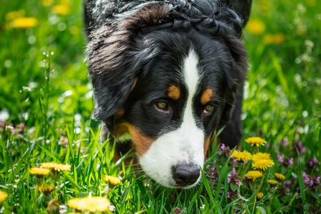 Head Bernese Mountain Dog (Berner Sennenhund) close-up Stock Photo
