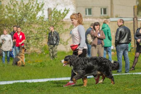 sennenhund: Gomel, Belarus - April 30, 2016: Bernese Mountain Dog (Berner Sennenhund) the dog is on a leash next to the host