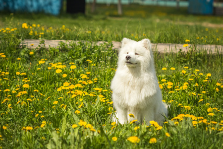 obedient: Obedient dog breed Samoyed puppy sitting in a field among the dandelions and green grass