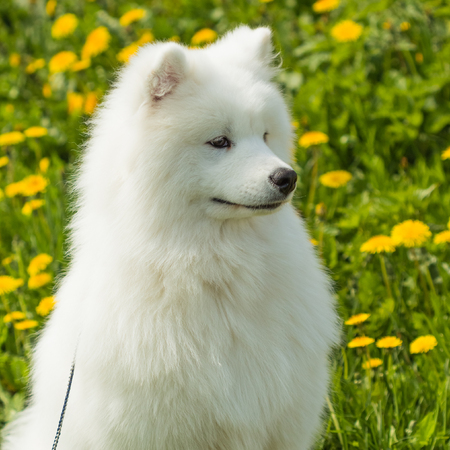 obedient: Obedient a beautiful graceful dog Samoyed sitting on the grass and yellow dandelions outdoors