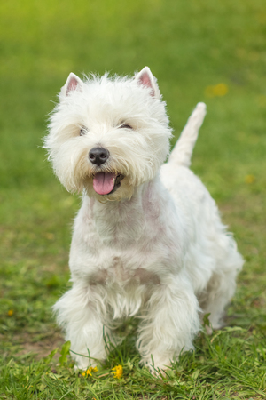 Beautiful young West Highland White Terrier dog outdoors