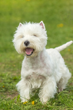 Cute West Highland White Terrier dog playing on the green grass Stock Photo