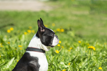 Boston Terrier Dog white and black color outdoors