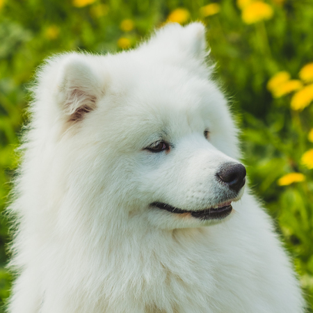Samoyed white and fluffy on the background of green grass outdoors. Portrait Stock Photo