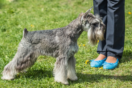miniature breed: Healthy dog breed Miniature Schnauzer Zwergschnauzer in a beautiful gray color stand outdoors