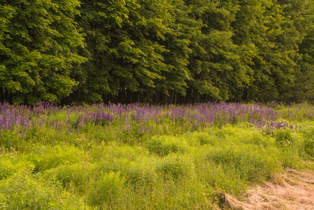 Wild lupins near a small forest with green trees