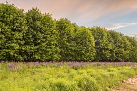 plantando arbol: la plantación de árboles con pequeñas creciendo junto altramuz silvestre