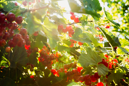 Bunches of red currant on the branches of a bush with backlit sunlight