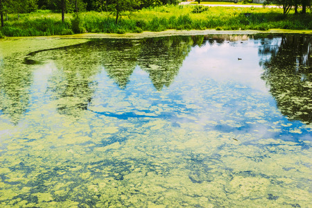 duckweed: City small lake with duckweed on the surface of the water. Nobody Stock Photo