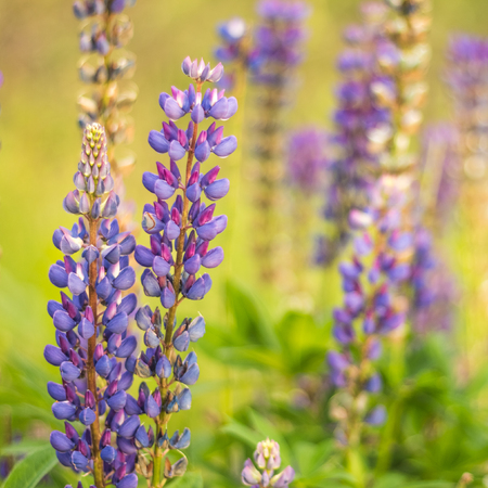 Blooming lupine purple bud with copy space Stock Photo