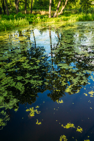Marshy water with reflections and duckweed Stock Photo