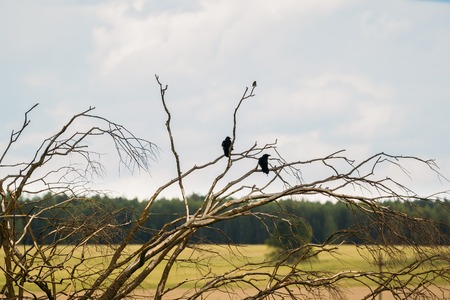 Crows on the branches of a dry tree against the sky Stock Photo