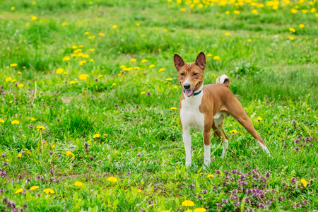 Beautiful dog of the Basenji breed in the grass