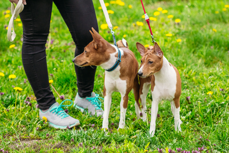 Basenji dogs on the green grass in the field
