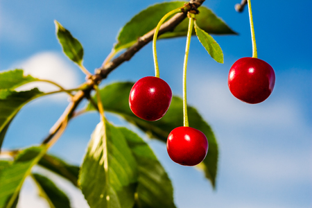 Beautiful ripe cherry on a blue background