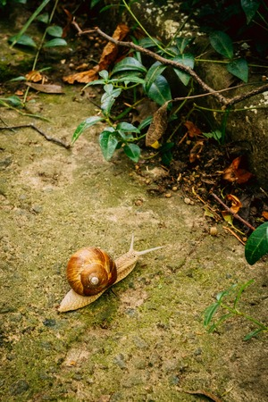 A snail in nature crawls on a stone surface