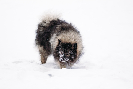 Keeshond in the winter in the snow