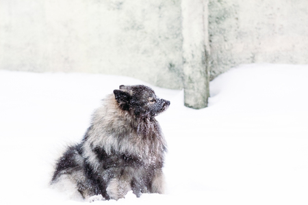 Pedigree keeshond dog covered with snow