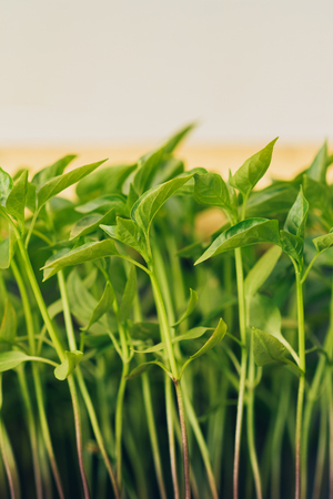 Pepper sprouts seedlings in a covered ground Stock Photo