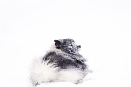 Dog keeshond in the snow in winter