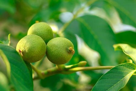 Walnut fruit on the tree Imagens