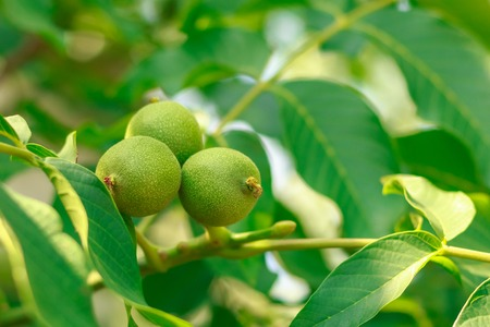 Fruit of a walnut on branches Imagens