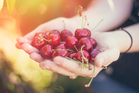 A handful of ripe cherries in their hands
