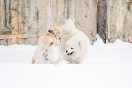 Dogs of the breed Samoyed and Labrador in winter