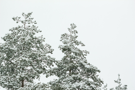 Pine trees branches in the snow