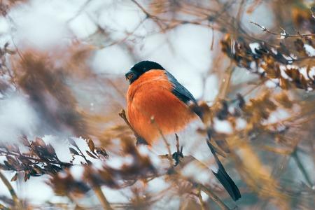 Bullfinch bird feeds on seeds of a bushman in winter Stock Photo
