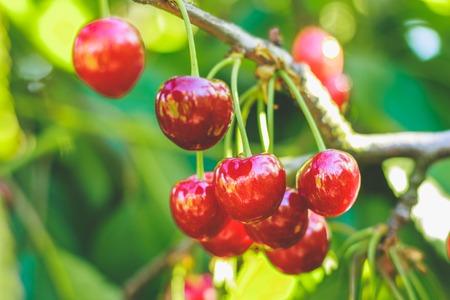 Cherry berries closeup on tree