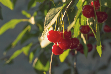 Cherry on the tree in the garden matures