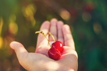 Two red ripe cherries on hand