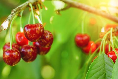 Real sweet cherry tree close up 版權商用圖片