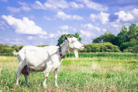 Goat on a pasture in the afternoon in the field