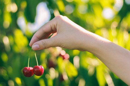 Ripe beautiful cherry in the hands