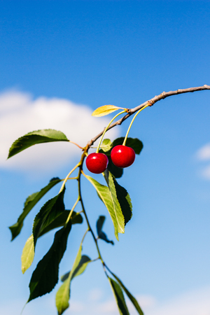 Branch on a background of blue sky with cherries 版權商用圖片