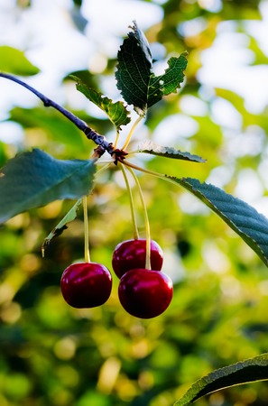 Ripe cherry on a tree in the garden matures in the summer