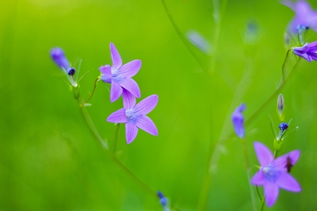 Flower Bell Field of violet color on a green background