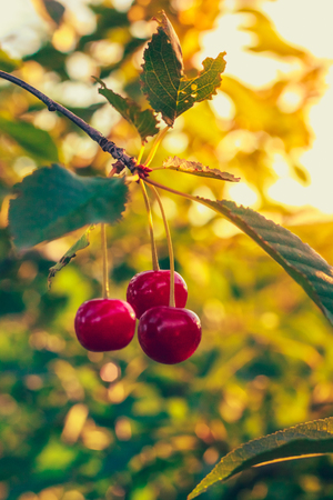 Three berries of sweet cherry on a branch with foliage on a tree