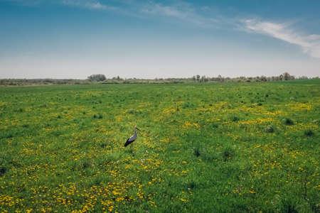 Stork bird in a green field with dandelion countryside. Wildlife