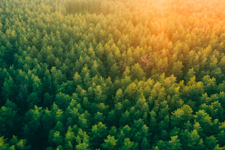 Tall pine trees in the forest in the rays of warm sunset light from aerial view . Forest background with green pines