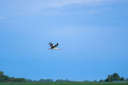 A beautiful stork flies over a field against the sky
