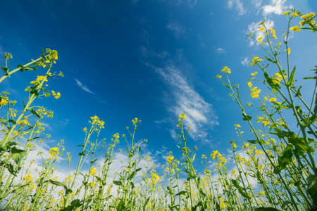 The stalks of flowering rapeseed stretch to the deep blue of the sky. Bottom view