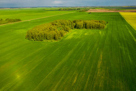 A small forest among rapeseed sown agricultural fields. View from the drone 免版税图像