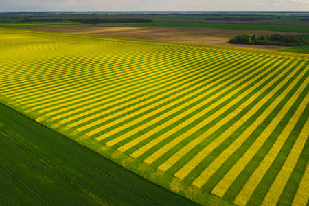 Fields in which yellow stripes rapeseed grown. View from above 免版税图像