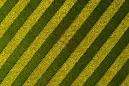 Blooming rapeseed field striped yellow-green. View from above. Background