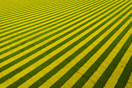 Yellow-green stripes in a field sown with rapeseed. Beautiful aerial view background
