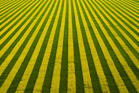 Yellow-green field with blooming rapeseed. Field top view background